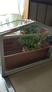 Our cute little herb garden glass-house :)
